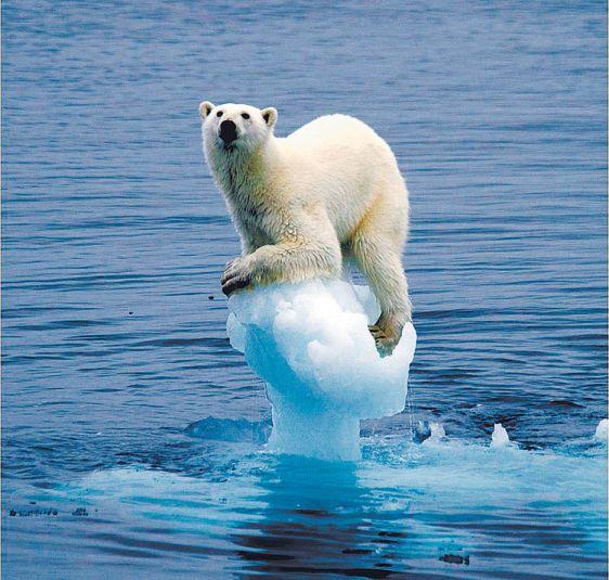 Esta imagen ha dado la vuelta al mundo a través de internet, pero no deja de ser una alerta ante el calentamiento y el deshiele polar, que pone en riesgo a los osos y las focas, entre otras especies. Foto: pensamientoverde.org
